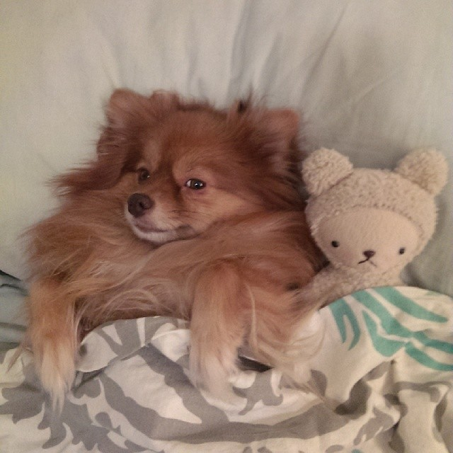 Sleepy time #pomeranian #thisistoocute