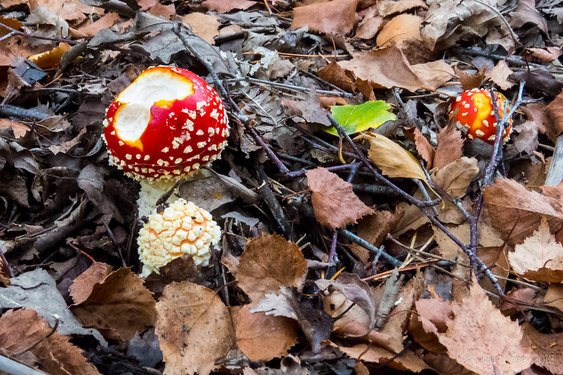 Nibbled Fly Agaric