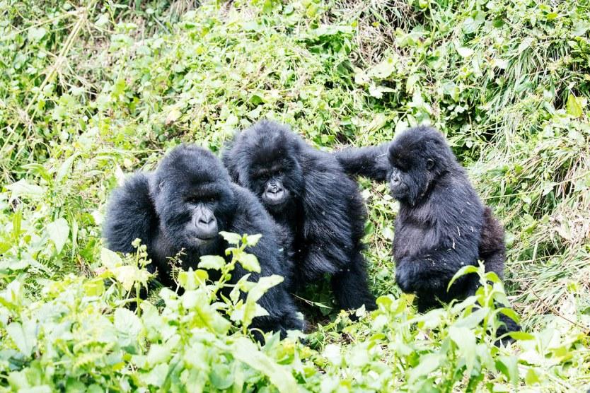 Gorilla Trekking 19