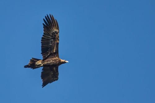 Wedge-tailed Eagle 2013-06-23 (_MG_1256)