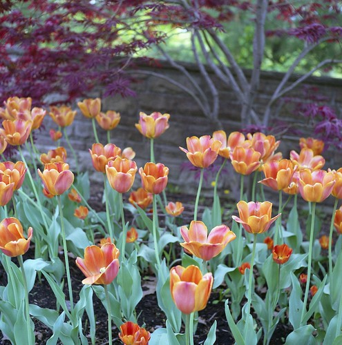 High Park Tulips