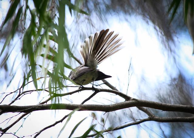 Fan Tail, Southwest Australia