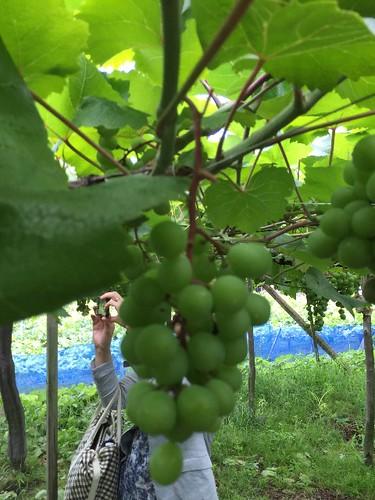 葡萄の房に栄養が来るように上の房は、カットしまーす!