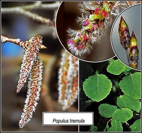 Populus_tremula
