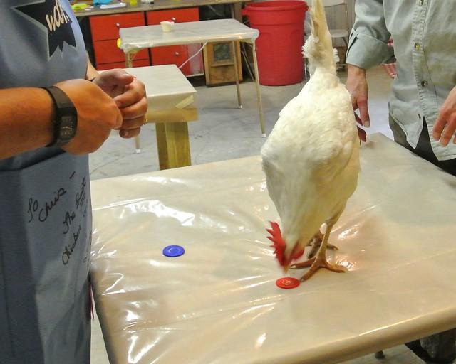 Chicken Training!