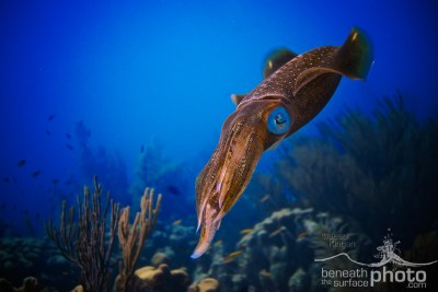 Caribbean Reef Squid, Bonaire