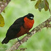 Red-ruffed Fruit Crow 2