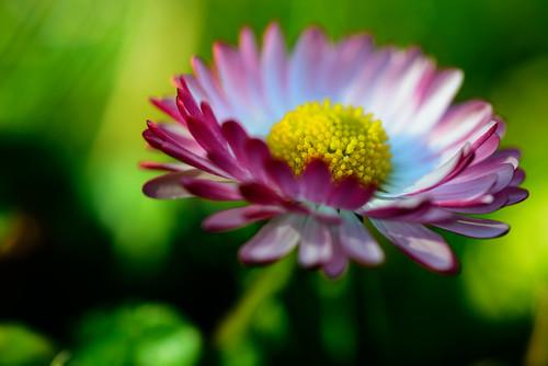 Gänseblümchen by OK's Pics