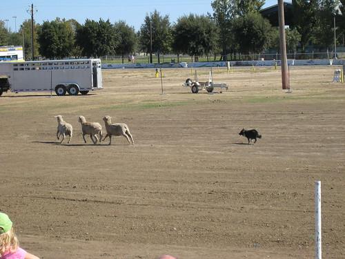 2013_10_05_Dixon_Lambtown_sheepdog1