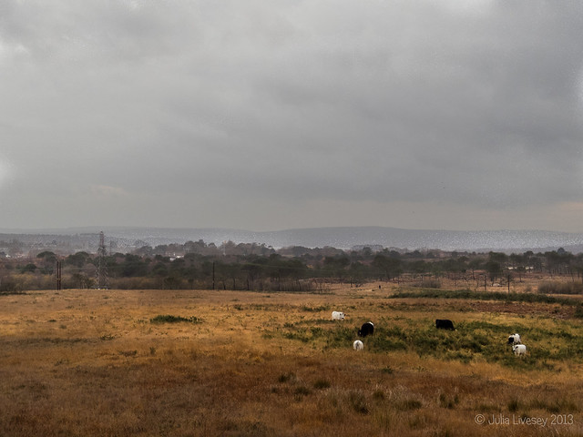 Cows on Upton Heath