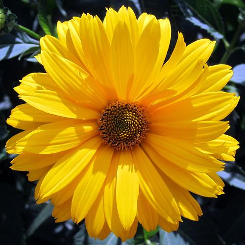 Nashville flower