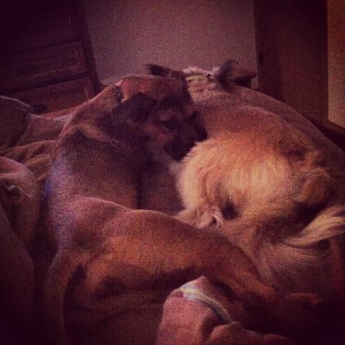 Not your average pillow #dog #doglove #sleepypup #goodmorning