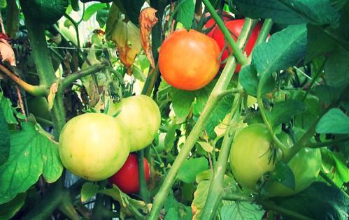 Tomates en Octubre