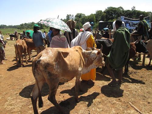 Farmers bringing their cows for estrous synchronization