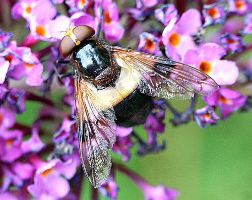 volucella pellucens Tophill Low NR, East Yorkshire August 2013