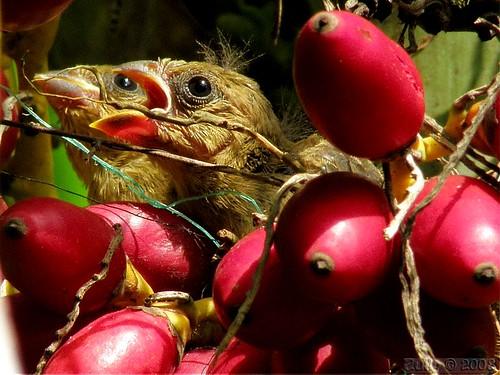 Espiguero variable - Variable Seedeater - Sporophila americana - chicks/polluelos