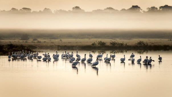 White Pelicans in the mist