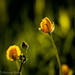 Buttercups