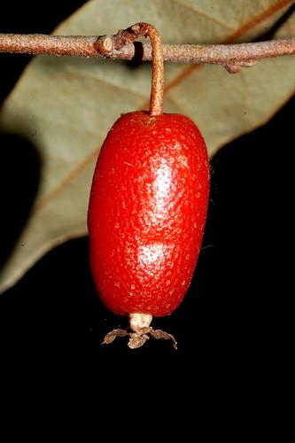 Elaeagnus triflora DSC_1138