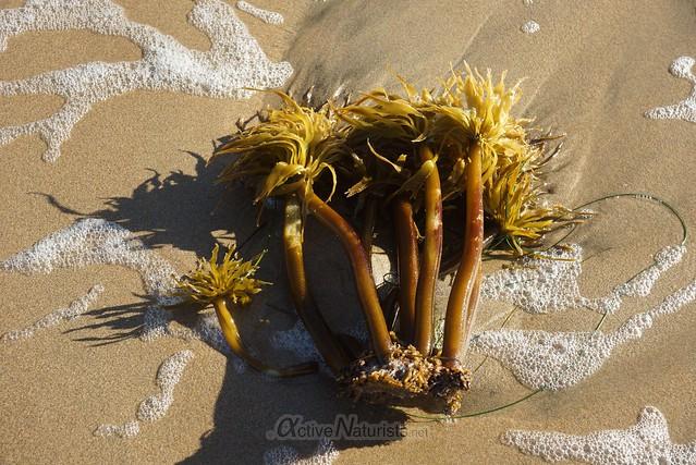 brown algae 0000 Ano Nuevo Beach, CA USA