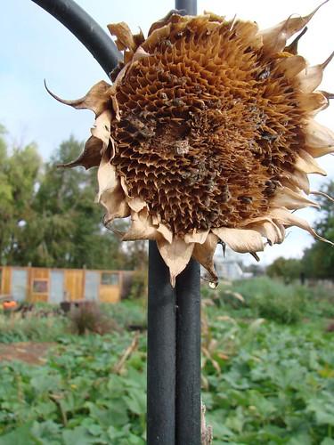 DriedSunflower1