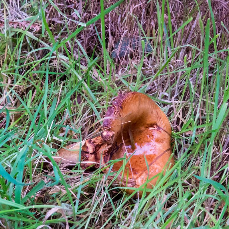 Mature Roll Rim Fungi