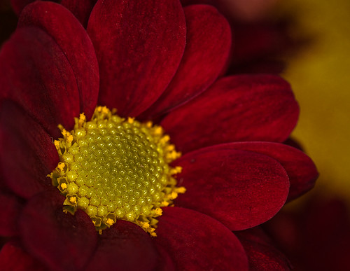 Red Chrysanthemum // 26 11 13