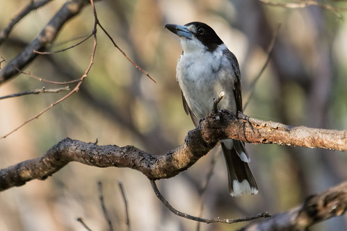 Grey Butcherbird 2013-10-04 (_MG_2211)