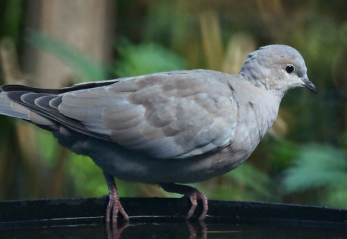 Collared dove (Streptopelia decaocto)