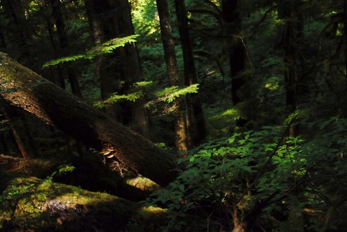 Old Growth Forest Canopy