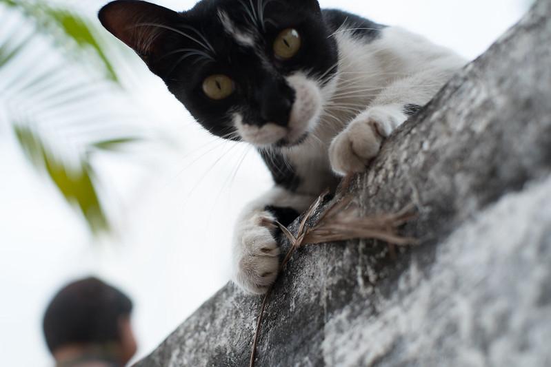 cat at Wat Bupparam, Chiang Mai