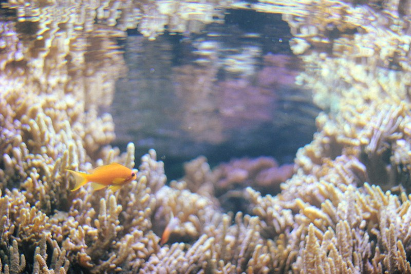 orange tropical fish + sea anemones