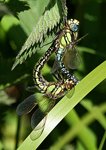 Hairy Dragonfly Brachytron pratense Leven Canal, East Yorkshire June 2013