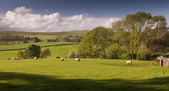 A sheep field