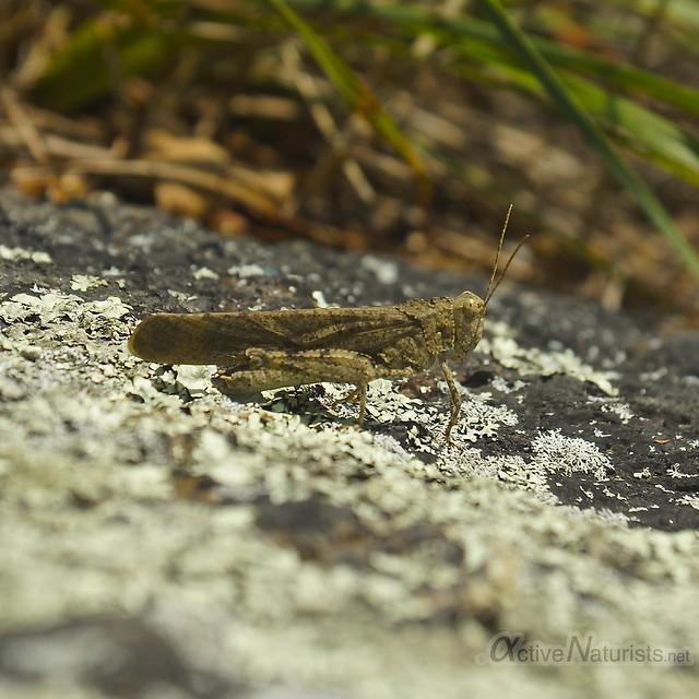 grasshopper 0002 Harriman State Park, NY, USA