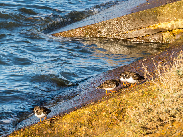 Turnstones on the sea wall