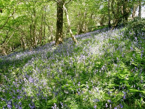 Bluebells Outhwaite Wood