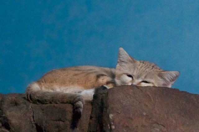 Sand Cat Nap, Disturbed