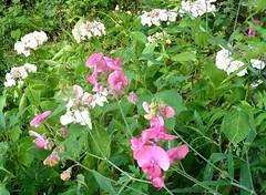 Hortensien und Edelwicken