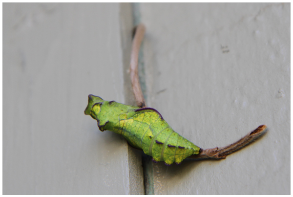 Butterfly Observation: Pipevine Swallowtai chrysalis