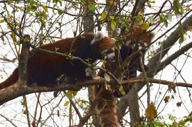 Mom and Baby Red Panda