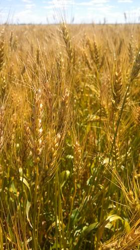 Emma: next stop wheat