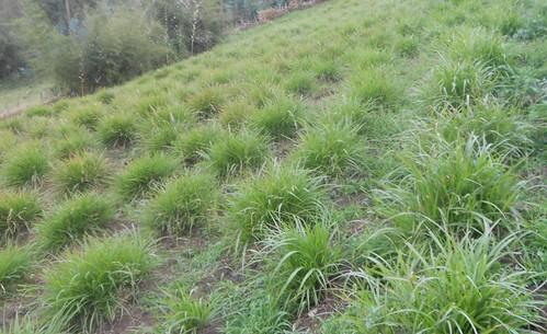 Desho grass in Arbegona district (Photo:ILRI\Birhanu Biazin)