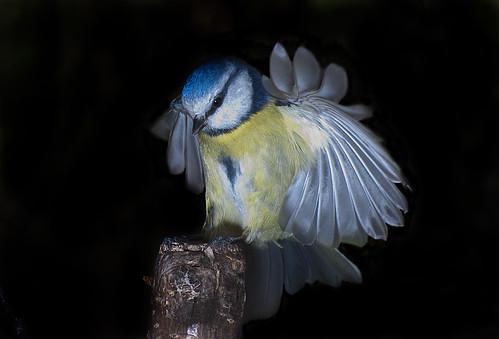 Blue Tit by jonny.andrews65