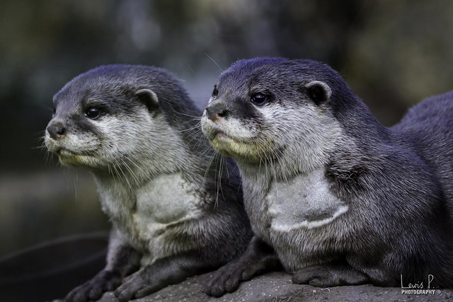 closeup of two Asian Short-Clawed Otters with serious faces looking off into the distance.