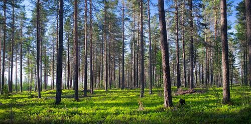 Pine forest, Sodankylä, Lapland