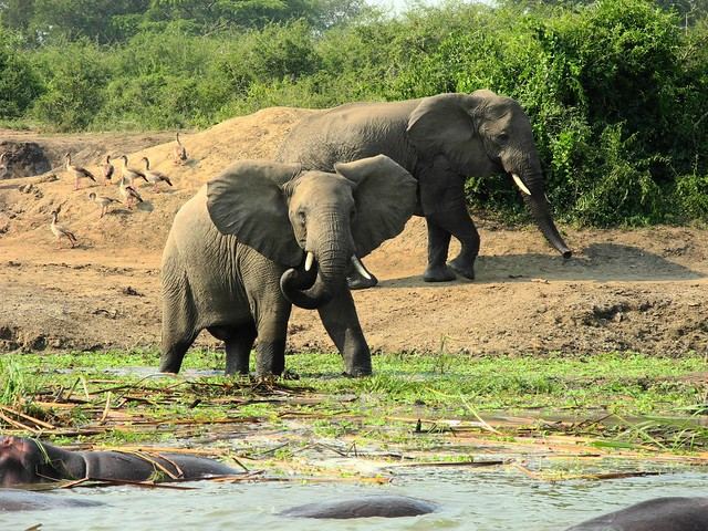 Elephants and hippos at the Kazinga Channel