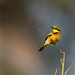_G3B2093 Little Bee-eater