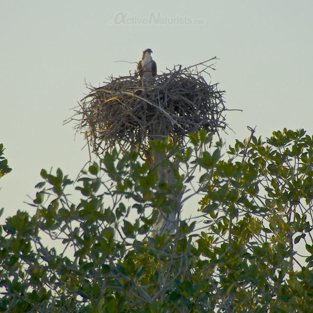 osprey 0001 Everglades, Florida, USA