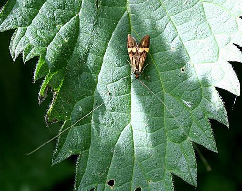 Nemophora degeerella Tophill Low NR, East Yorkshire June 2013